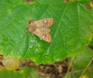 Satellite Moth