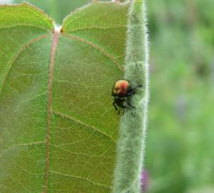 Aspen Leaf-rolling Weevil
